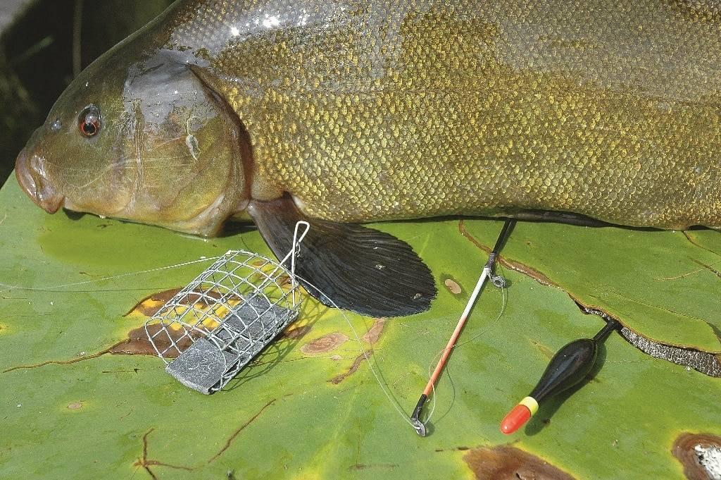 Как ловить линя, особенности этой рыбы, где найти линя