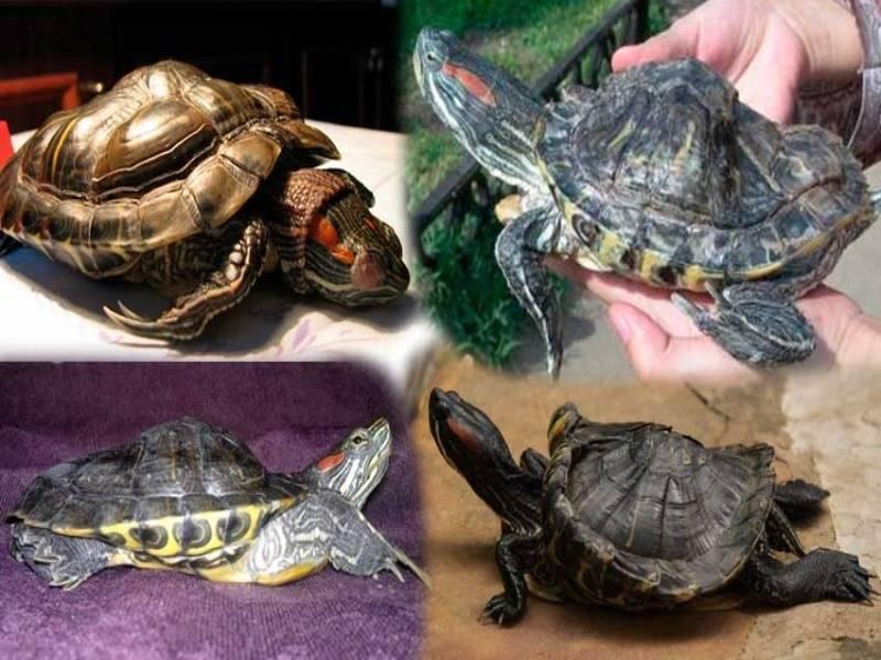 Почему черепахи долго живут? сколько живут черепахи – описание и видео