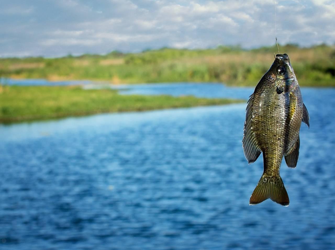 В новгородской области пытаются сохранить рыбные запасы озера ильмень