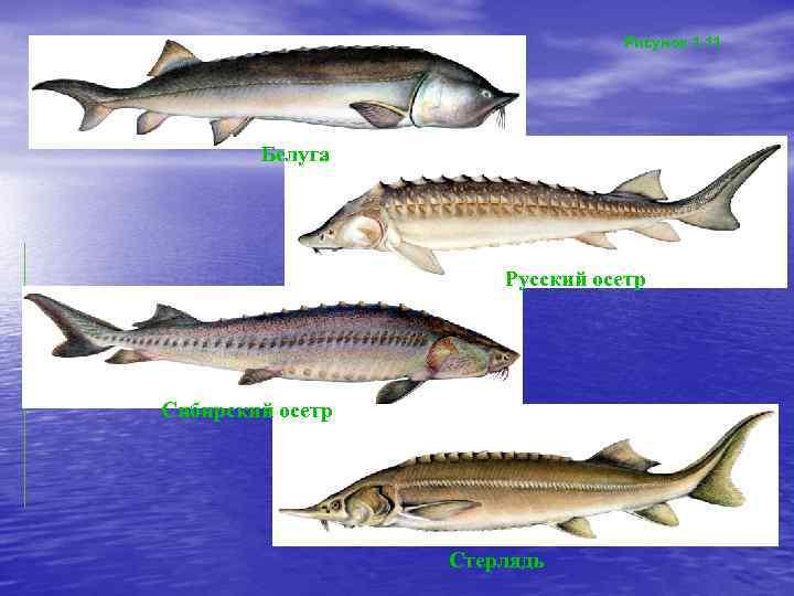 Рыба осетр: разновидности, обитание и выращивание