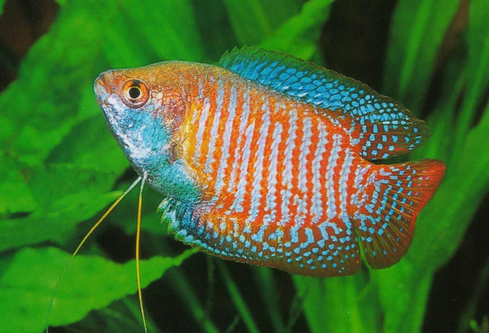 Аквариумная рыбка лялиус: фото, содержание и кормление, размножение и разведение.