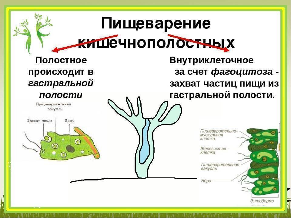 Гидра — класс гидрозои: органы чувств, нервная и пищеварительная системы, размножение. старт в науке гидра обыкновенная