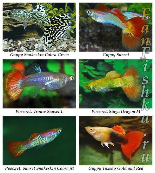 Аквариумные рыбки гуппи содержание и кормление, отличие самки от самца и размножение - ribulki.ru