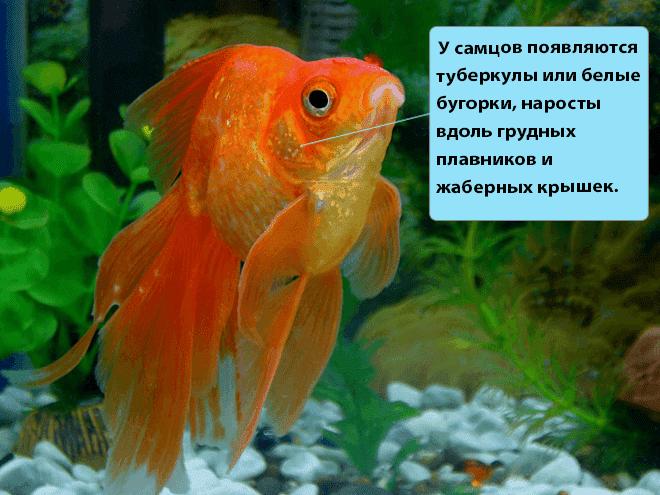 Рыбки астронотусы: содержание и уход