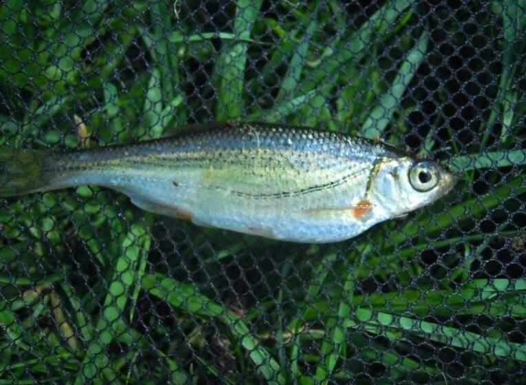 Рыбы семейства тресковых: описание, фото, места обитания