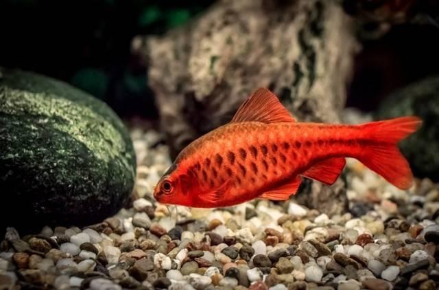 Обитание, описание и повадки рыбы в домашних условиях