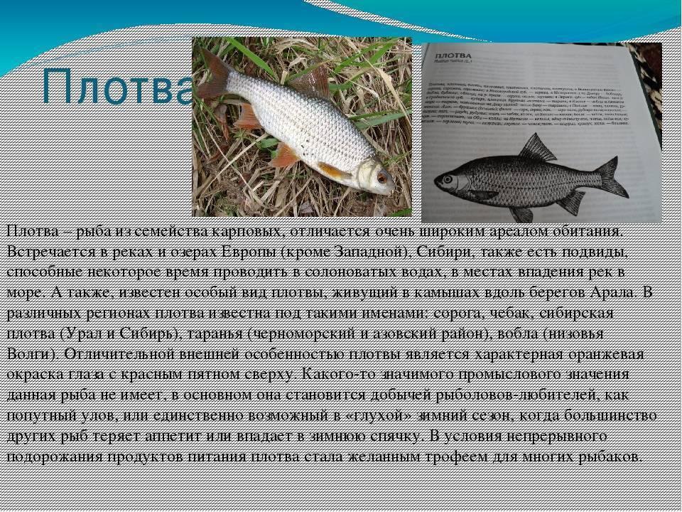 Осетр: описание рыбы, фото, разновидности, нерест, ловля, разведение и выращивание