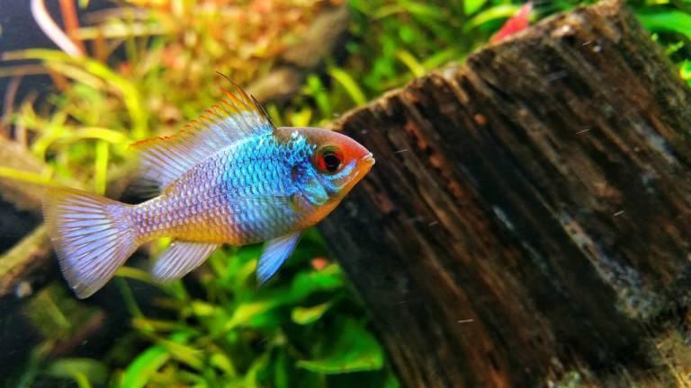 Апистограмма бабочка – подходящий аквариум, совместимость с другими рыбками, чем кормить?