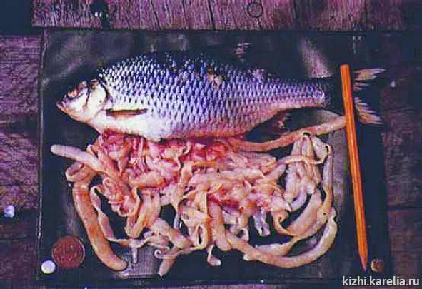 Какая рыба заражена описторхозом