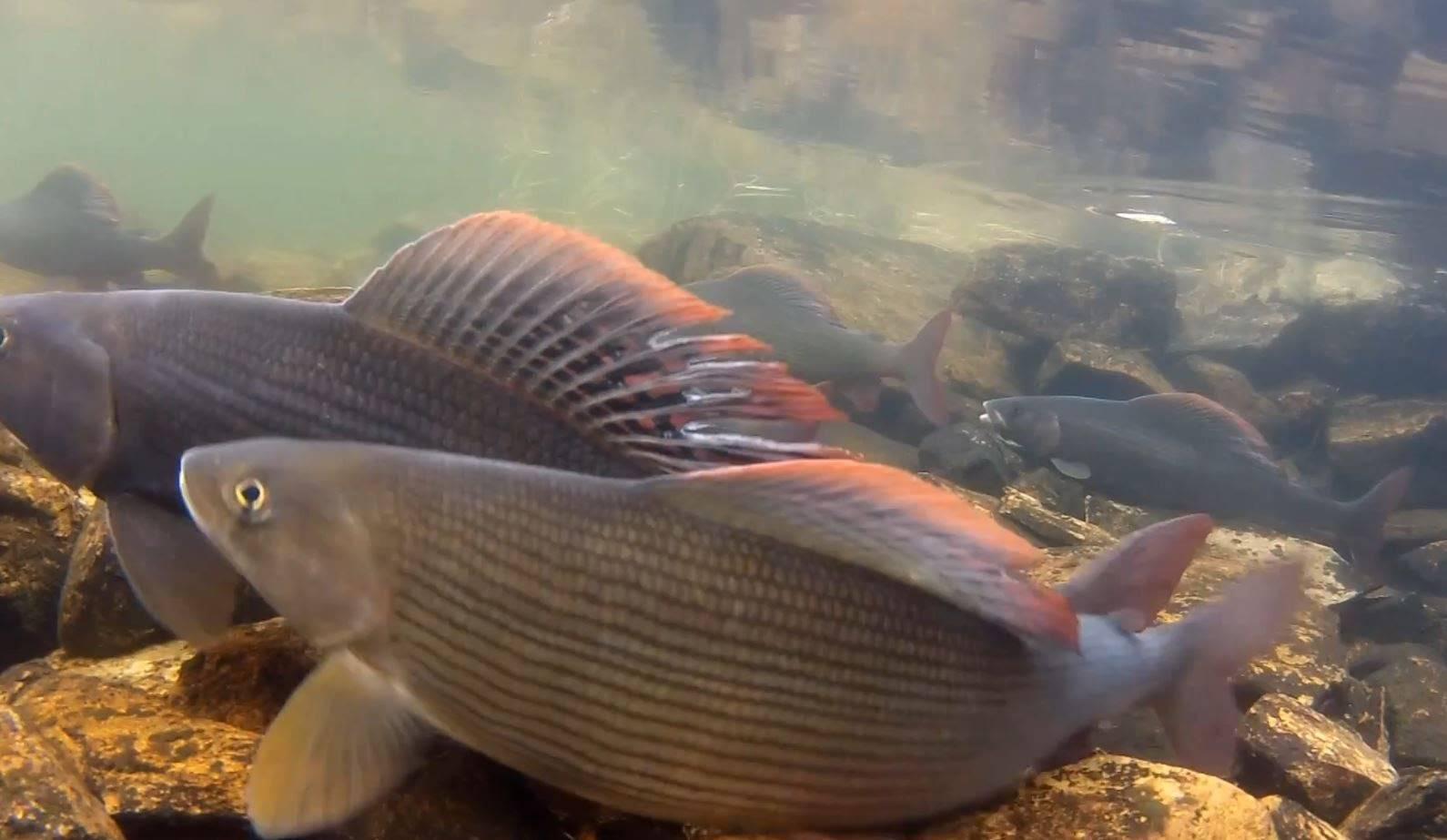 Сибирский хариус | фото, виды рыб, ареал обитания, образ жизни и способ ловли