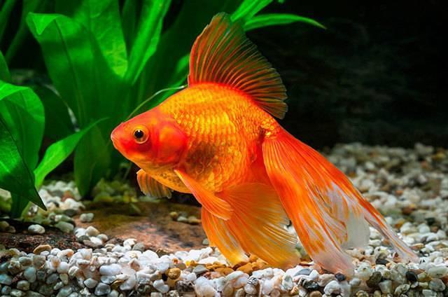 Рыбки клоуны: фото, содержание и совместимость с другими рыбками