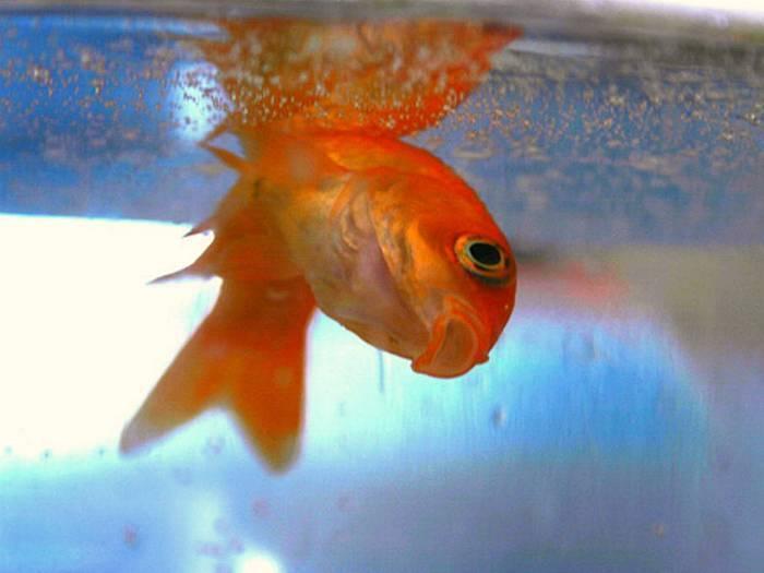 Как понять, что ваша рыбка умерла - wikihow