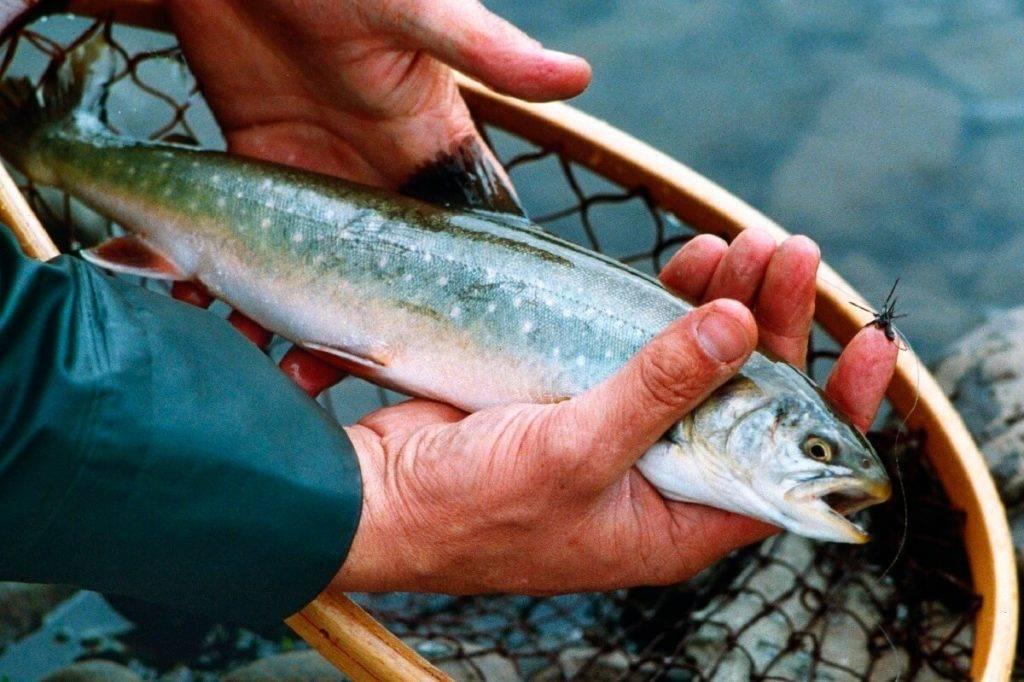 Рыба голец: польза и вред, фото и отзывы