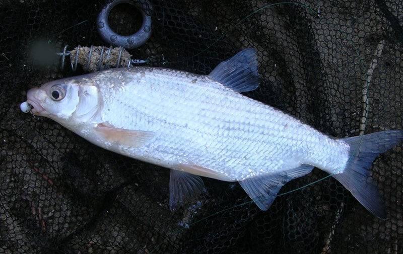 Рыба рыбец: описание, развитие, интересные факты и среда обитания : labuda.blog рыба рыбец: описание, развитие, интересные факты и среда обитания — «лабуда» информационно-развлекательный интернет журнал