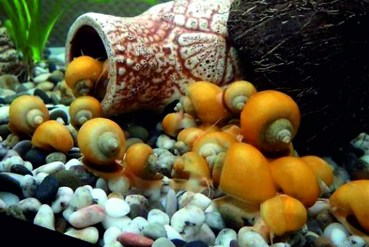 Ампулярия - желтая аквариумная улитка: содержание, уход и размножение, фото-видео обзор