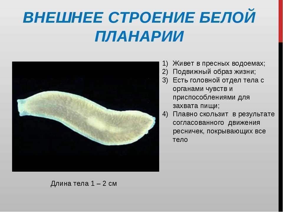 Белая планария, ее строение, особенности размножения