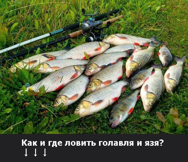 Техника ловли и основные принципы осенней рыбалки на голавля