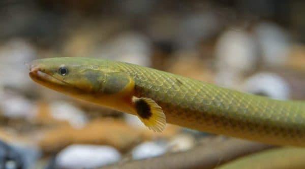 Каламоихты: содержание в аквариуме