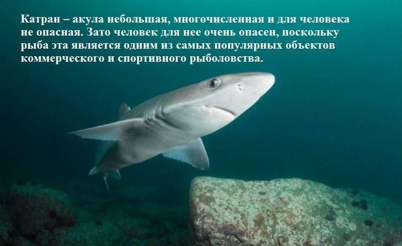Катран акула. образ жизни и среда обитания акулы катран. черноморская акула катран сообщение на тему катран сельдевая акула