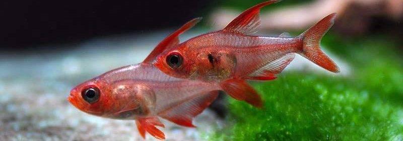 Рыбка красная шапочка (оранда, золотрая рыбка с красной головой): уход, условия содержания, размножение, фото, совместимость