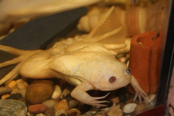 Шпорцевая лягушка в природе и домашнем аквариуме