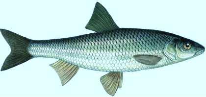 Рыба елец вкусовые качества
