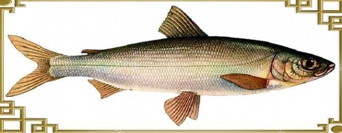 Рыба семейства сиговых: какие виды относятся к семейству, как называются и где можно поймать
