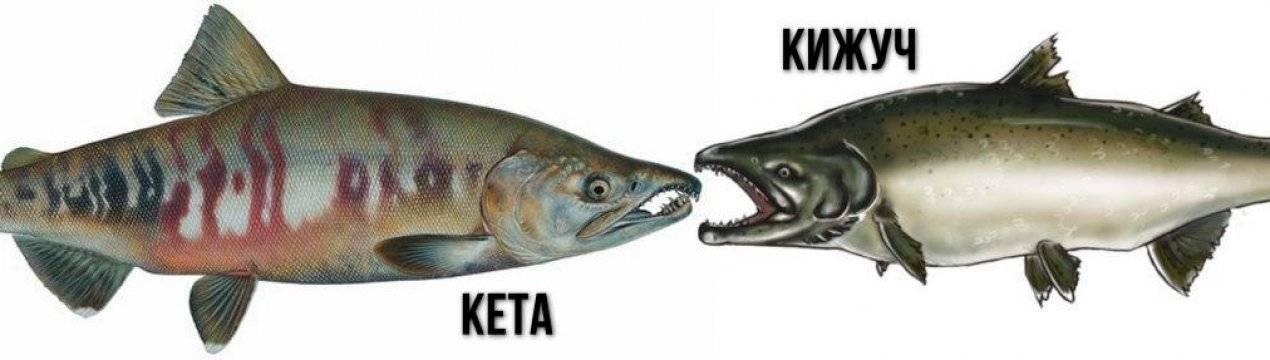 Какая рыба лучше - кижуч, кета или жирная семга, где водятся и чем питаются