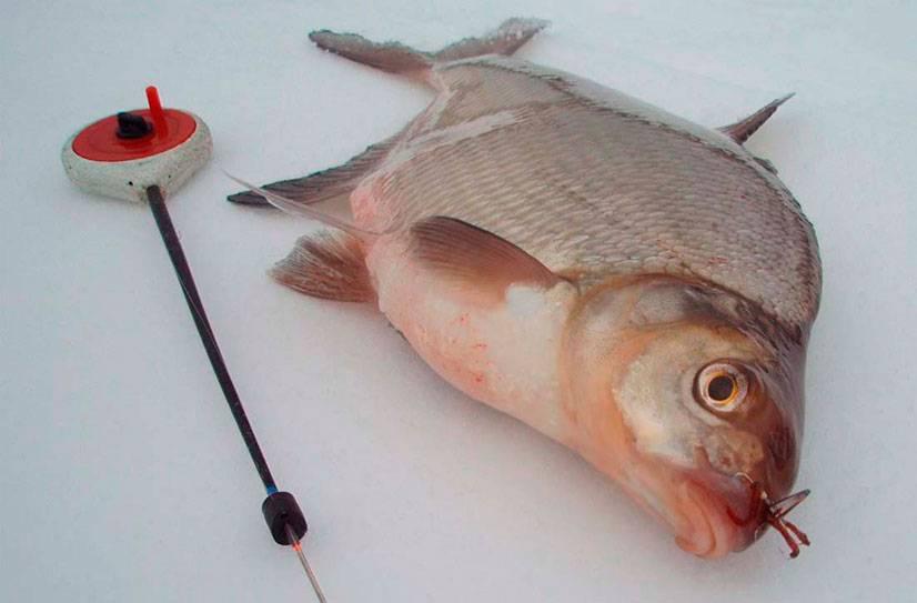 Ловля леща зимой: снасти, прикормка и наживки