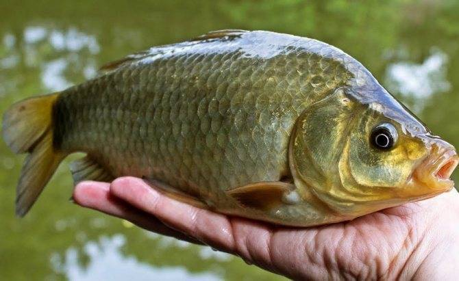 Правила и варианты приготовления ферментированной кукурузы для рыбалки