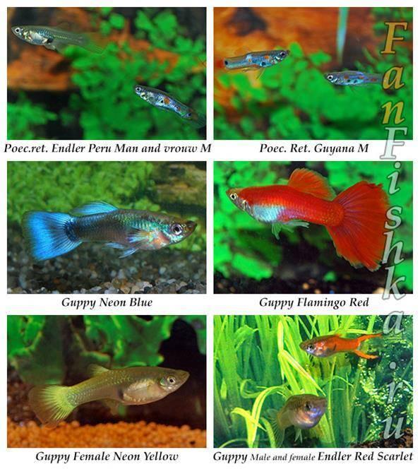 Рыбки гуппи - содержание в аквариуме, уход, кормление, особенности