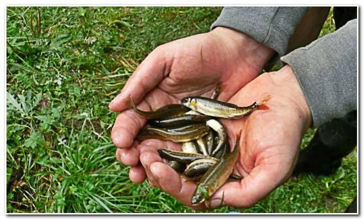 Рыба гольян: места обитания, особенности питания и размножения, техника ловли | berlogakarelia.ru