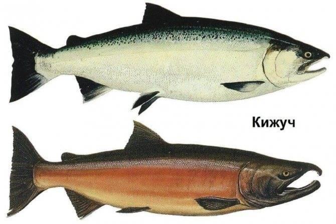 Рыба кета: польза и вред