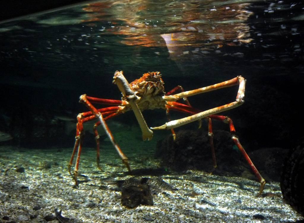 Японский краб-паук. гигантский японский краб