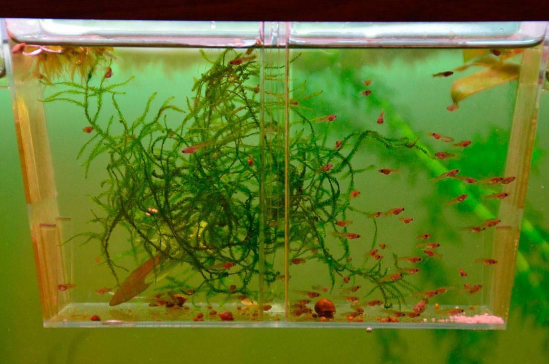 Содержание и уход за аквариумной рыбкой меченосец
