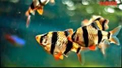 Алый барбус (одесский, тикто): содержание, родина обитания, а также фото аквариумной рыбки и совместимость с другими обитателями