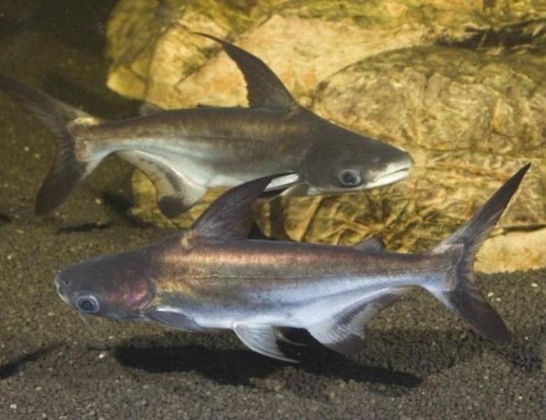 Акулий сом (пангасиус аквариумный): описание и фото, содержание, совместимость с другими рыбами, болезни