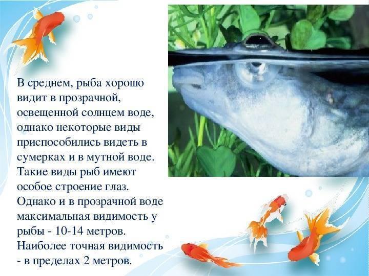 Органы зрения рыб, на каком расстоянии видят рыбы