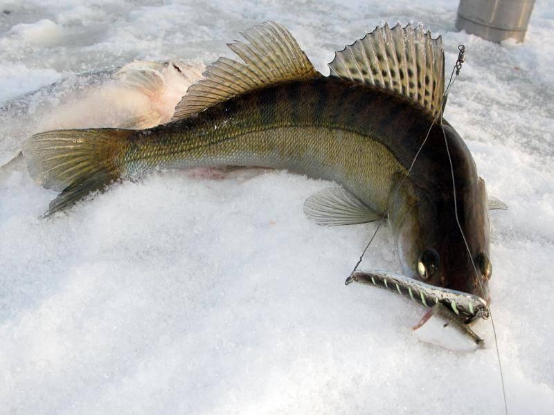 Как ловить судака на тюльку зимой: оснастка и правильная техника