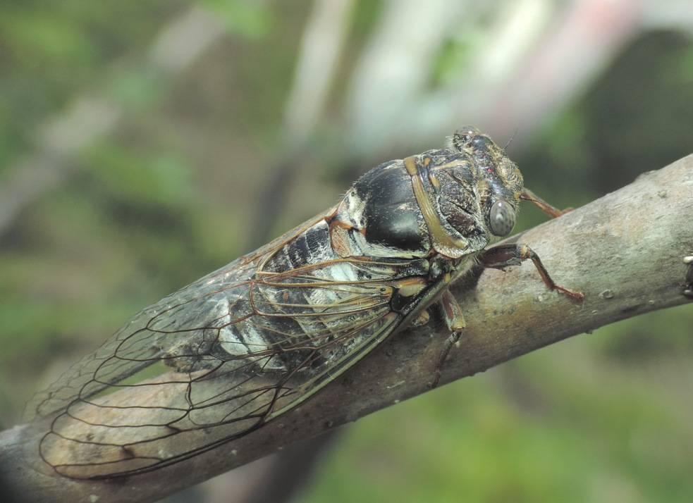 Насекомое уховертка: чем опасна для человека, вред наносимый на огороде, фото обыкновенной и других представителей отряда