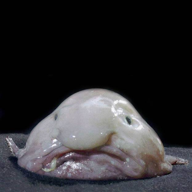 Рыба капля: фото, видео, где обитает, интересные факты
