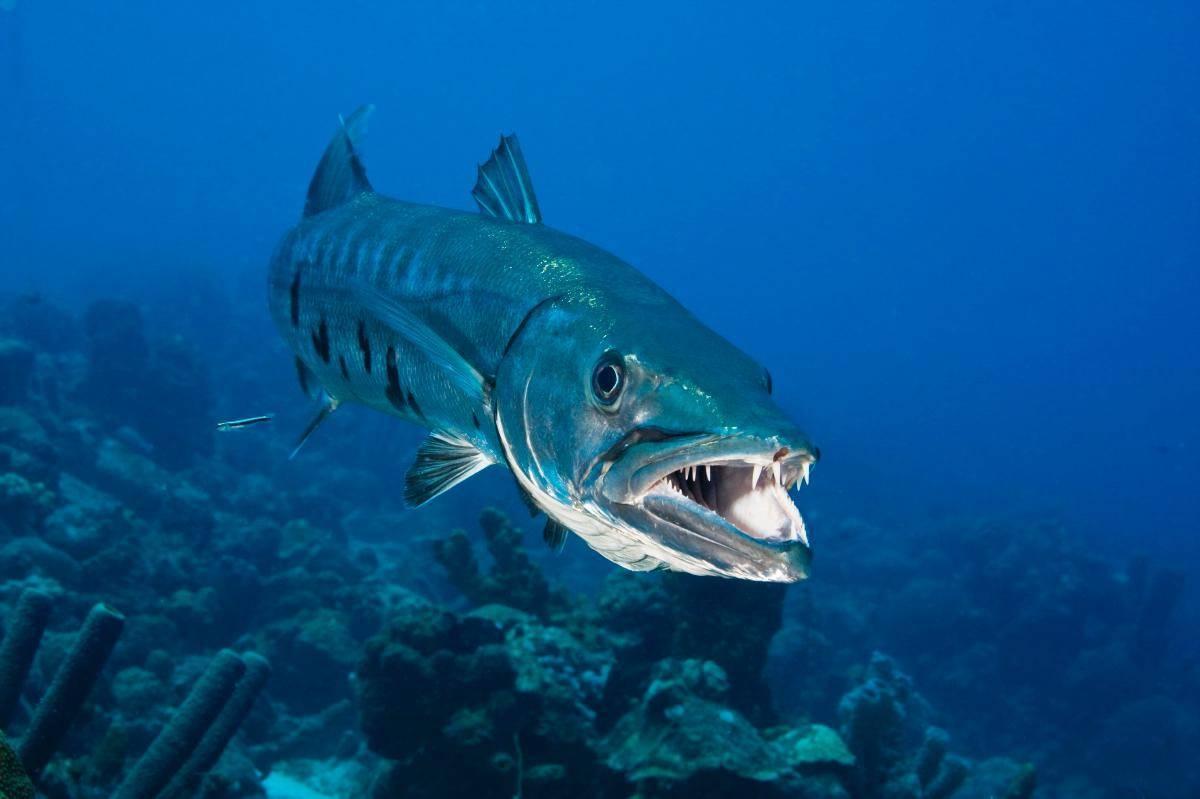 Барракуда - описание рыбы, где обитает, виды