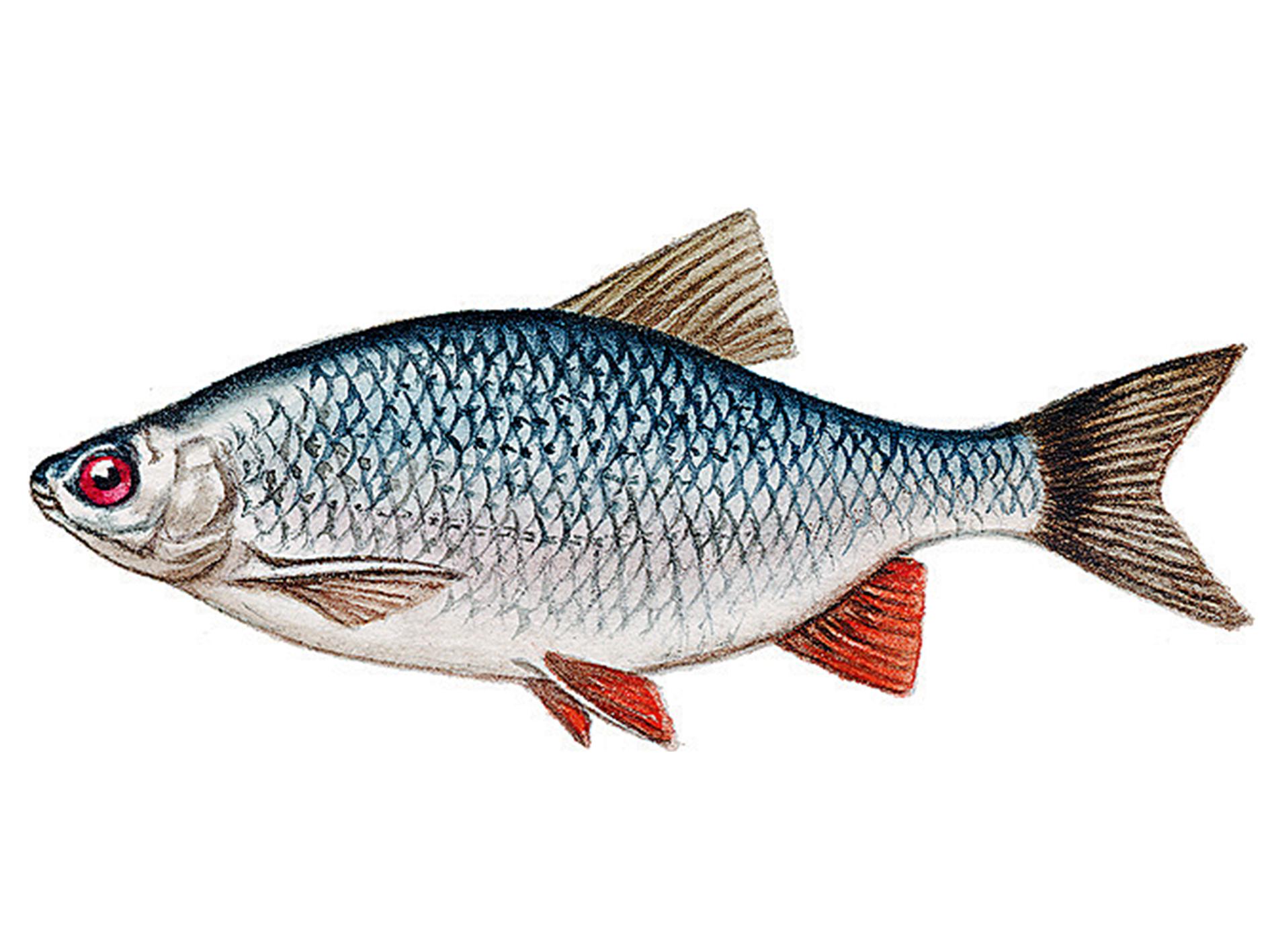 Чем отличается красноперка рыба от плотвы, чем питается, ловить