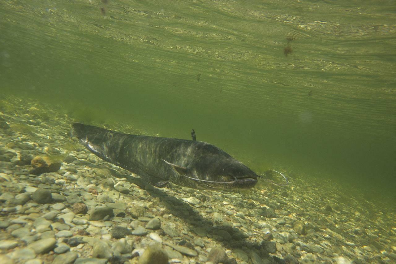 Сом и места его обитания – рыбалке.нет