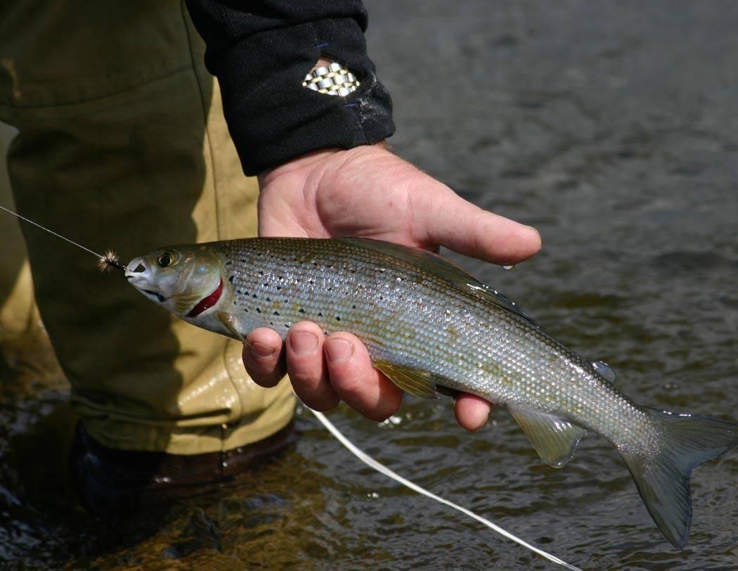 Ловля хариуса в сибири, снасти для рыбалки на сибирского хариуса осенью
