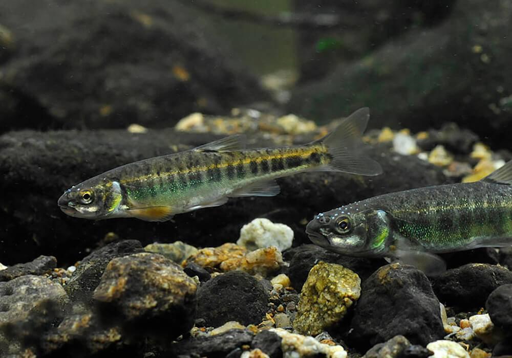 Речные рыбы: список пресноводных рыб, как отличить хищника