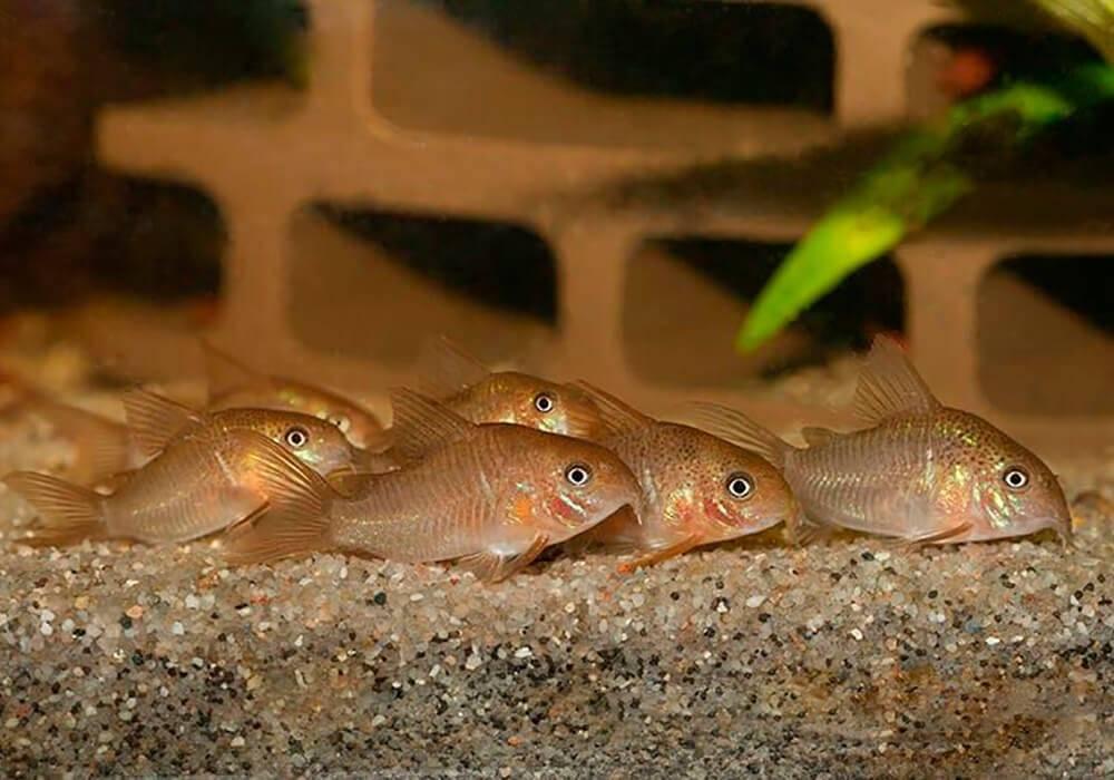 Коридорас: сомики коридорасы, коридорас крапчатый, виды, содержание, разведение, фото, видео | блог аквариумиста