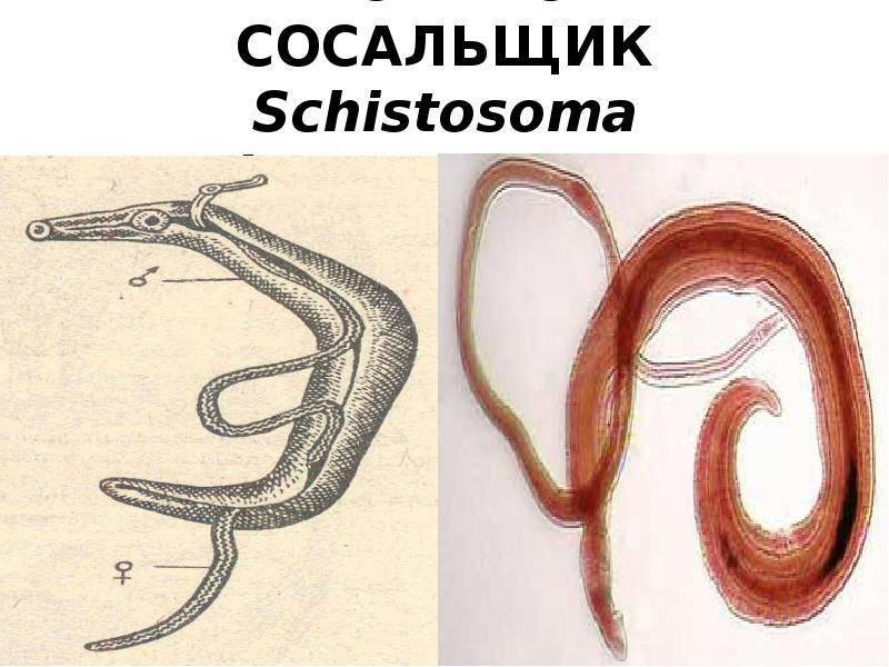 Аскарида круглый червь