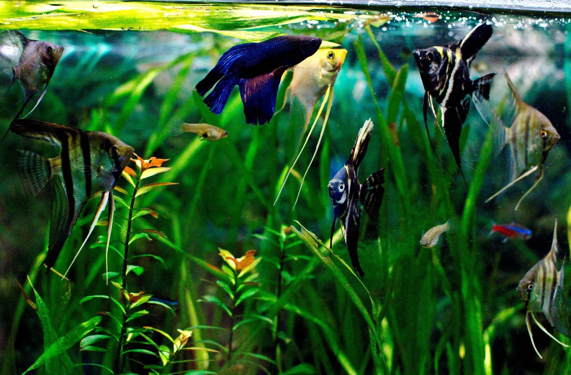 С кем уживаются гурами в аквариуме?
