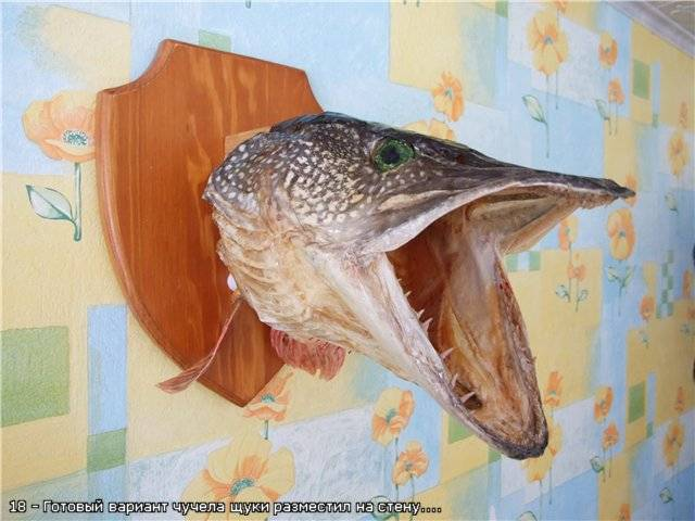 Как сделать чучело из головы щуки? сувенир на память: чучело из головы щуки - полезная информация для всех - советы и рекомендации от belmathematics.by